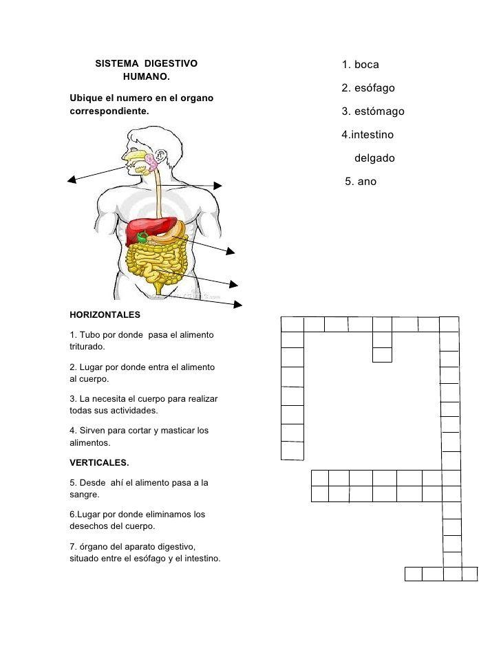 SISTEMA DIGESTIVO 1. boca HUMANO. 2. esófagoUbique ... | Ciencias ...