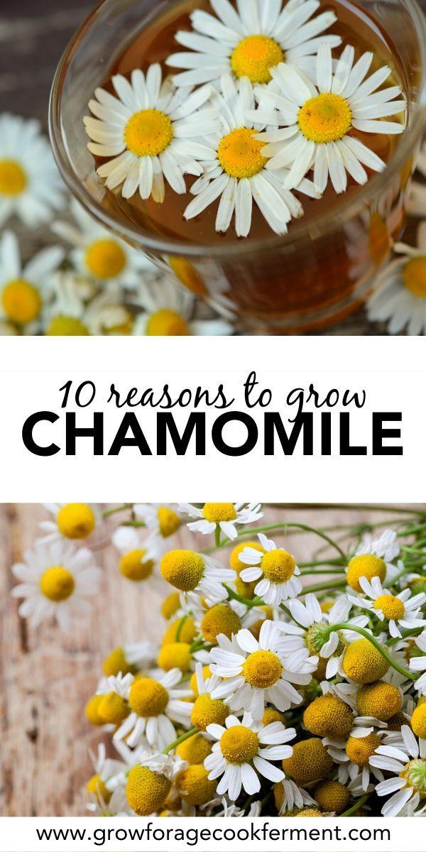 How To Grow Chamomile Tea Chamomile Plant Chamomile Growing Chamomile Seeds