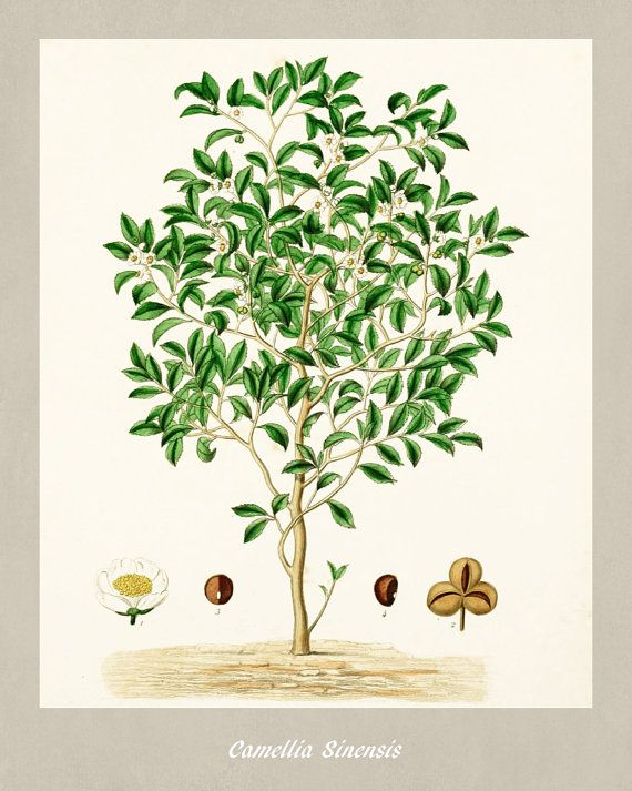 Tea Plant Botanical Print Vintage Tea Illustration Kitchen Wall Art Poster 0475 Vintage Botanical Prints Botanical Prints Tea Illustration