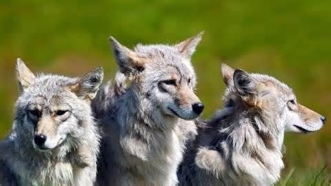 wolves - : Yahoo Image Search Results