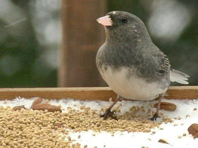 Pictures of Juncos: Feeding Juncos