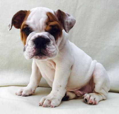 Bulldog Puppy For Sale In Charleston Sc Adn 21160 On Puppyfinder