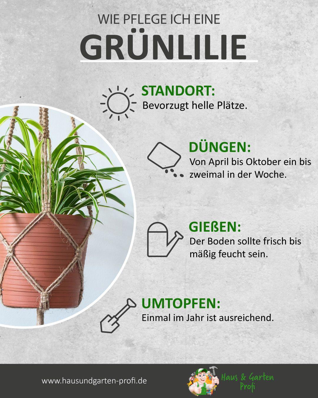 Die Grünlilie Tricks und Tipps zum Thema: (Umtopfen, Gießen, Düngen, Standort)