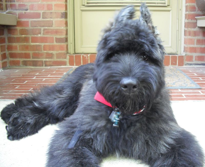 German shepherd poodle mix why to adapt facts about
