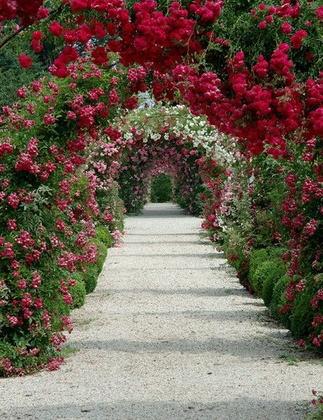 Allee of roses underplanted with boxwood