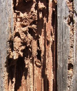 Damaged From Being Infested By A Termite Colony Termite Control Termite Treatment Pest Control