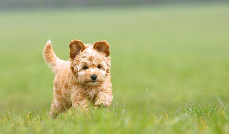 25 Dog Breeds That Live The Longest Cockapoo Is A Cross Between American Or English Cocker Spaniel Poodle Max Life Expectancy Cockapoo Puppies Dog Breeds Dog Crossbreeds