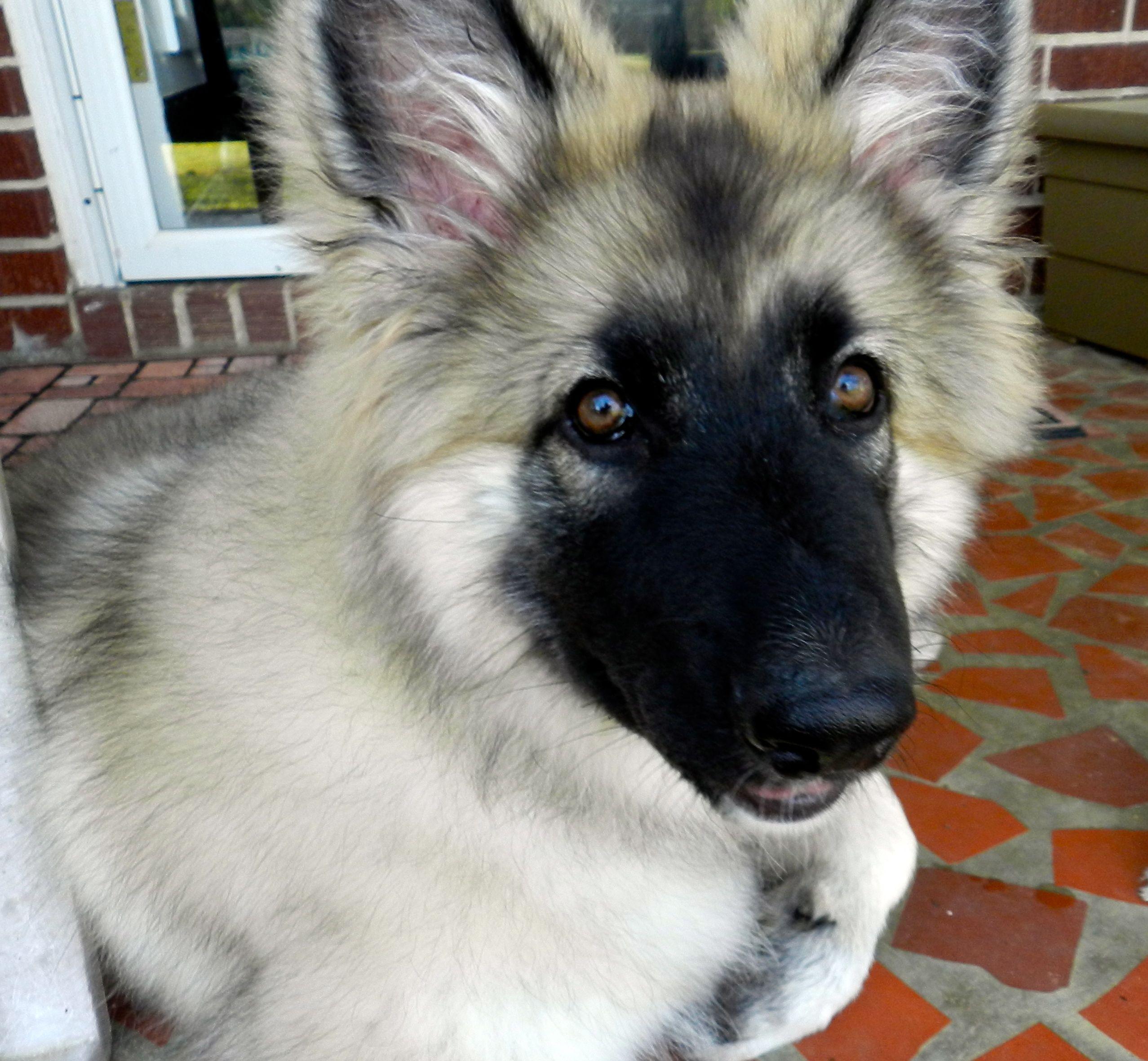 Shaylee Shiloh Shepherd Puppy 3 Shiloh Shepherd Gsd Dog Dog Life