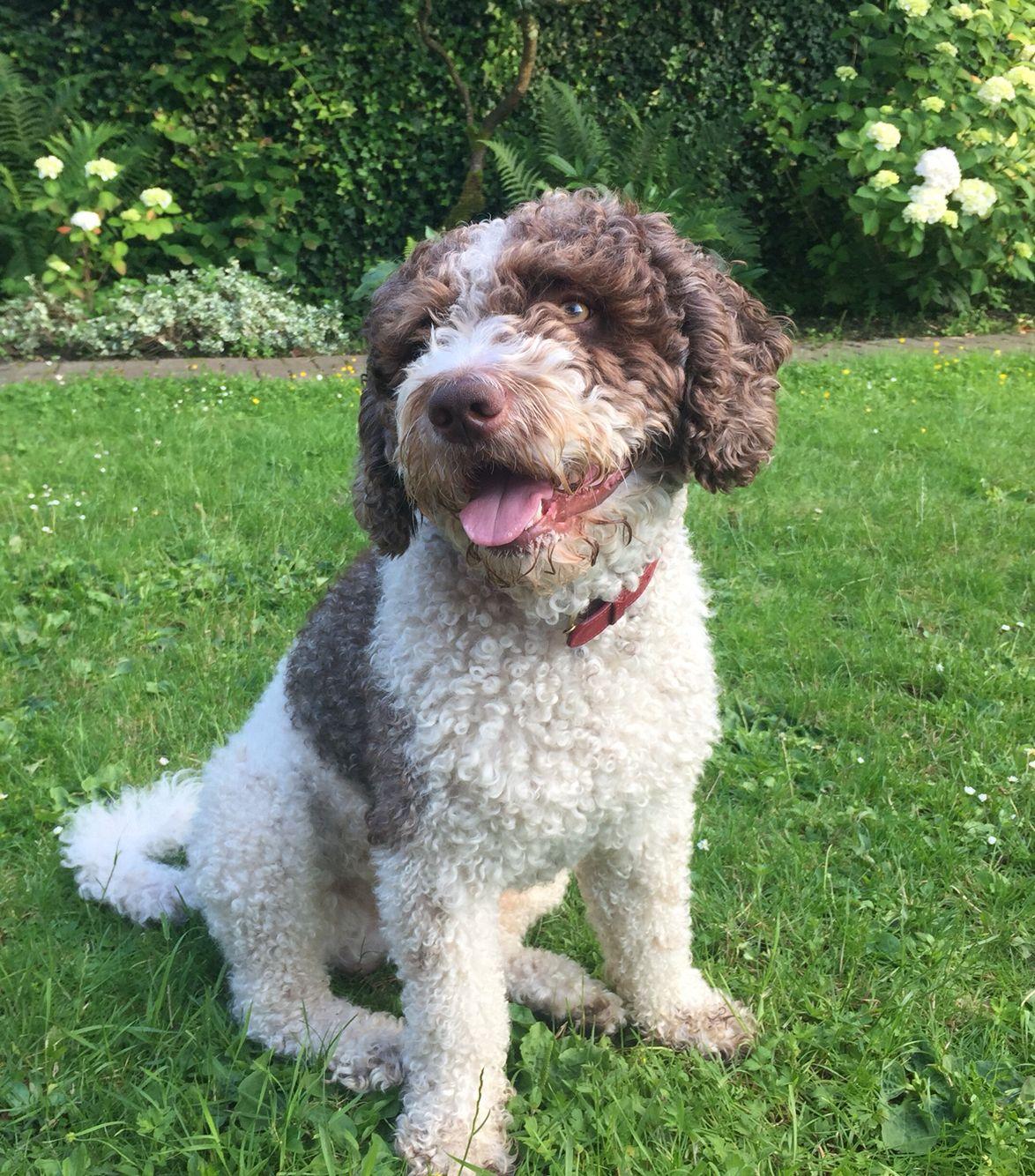 My greatest ️ perro de agua espanol Spanischer