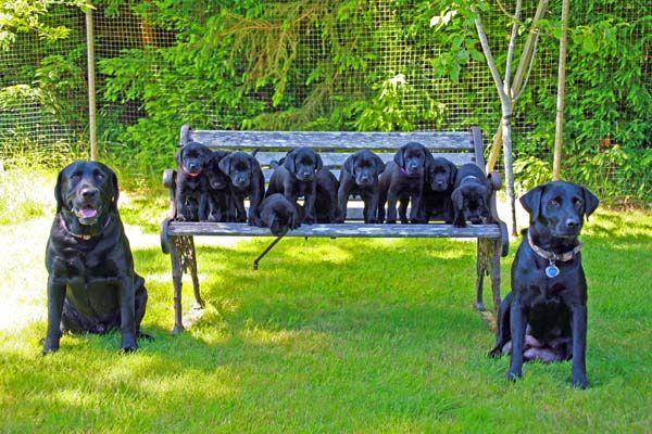 Good Labrador Retriever Black Adorable Dog - c4056e9b7571fac7046c82fad89c3fce  Snapshot_344723  .jpg