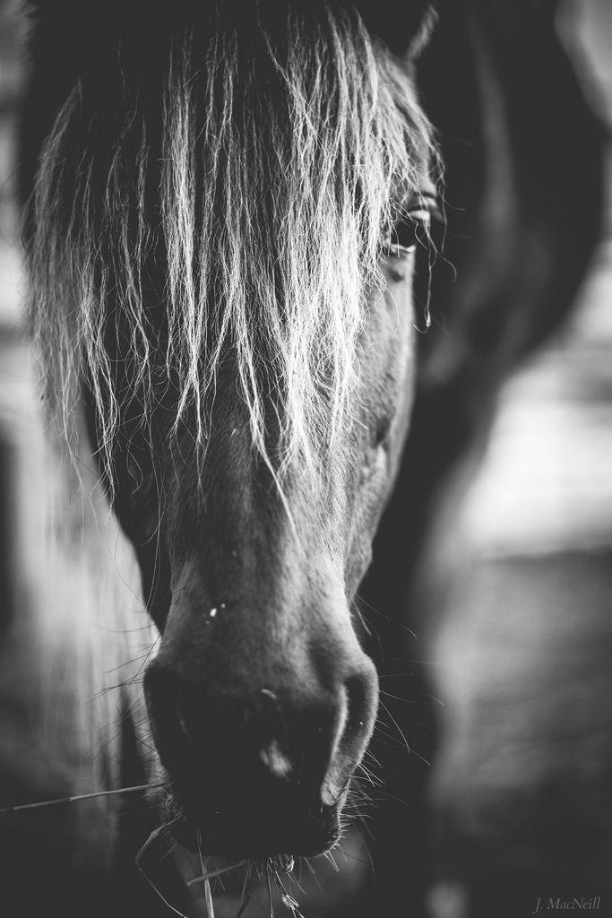 Rocky Mountain Horse jmacneillphotography.com