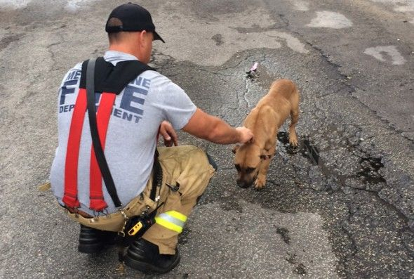 Stray Dog In Bad Shape Seeks Help From Firefighters Stray Dog Firefighter Dog Walking