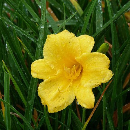 Yellow Flowers - Stella D Oro Daylily