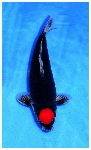 Tancho goshiki koi sierkarpers pinterest koi fish for Carpe koi tancho