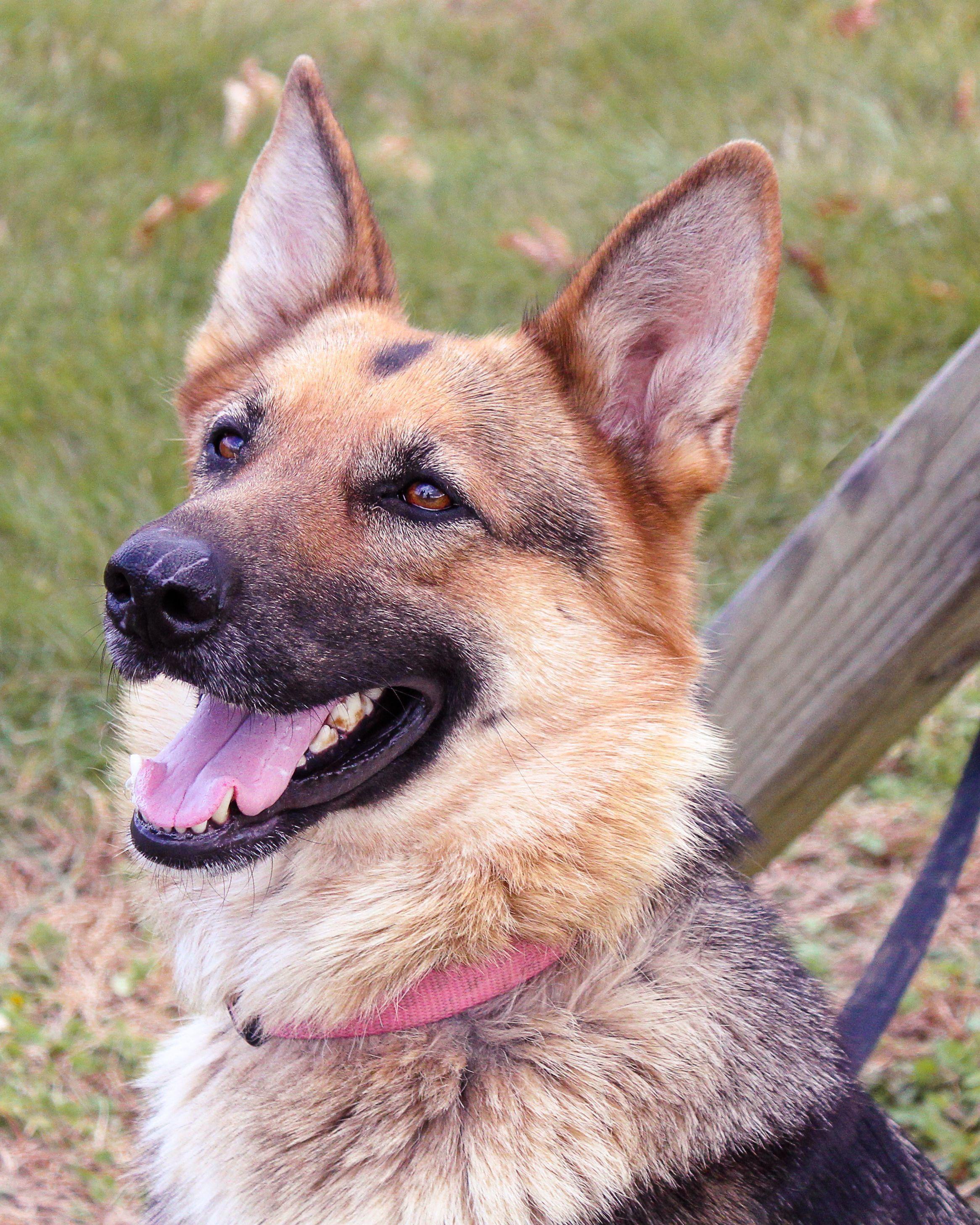 German Shepherd Dog Dog For Adoption In Baltimore Md Adn 805122