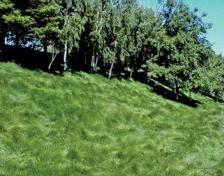 No mow fine fescue hillsides fields wild grasses for Wild grass landscaping