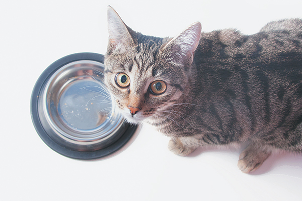 Why Is My Cat Always Hungry? 5 Reasons Catster in 2020