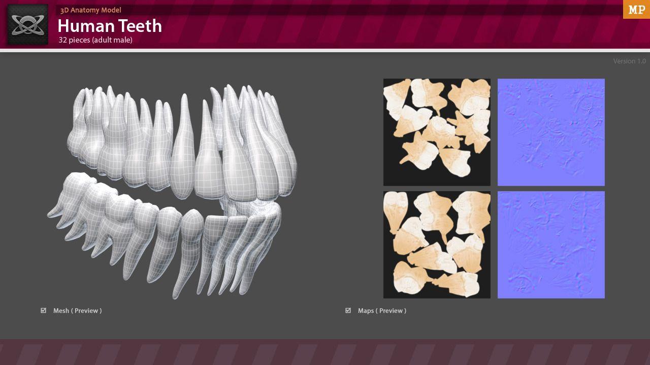 3d Anatomy Human Teeth Design Pinterest Human Teeth