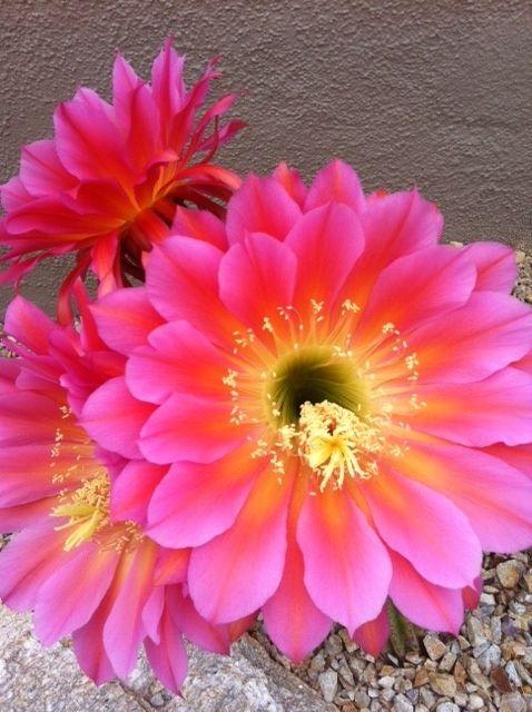 Spring's beautiful desert blooms . . .