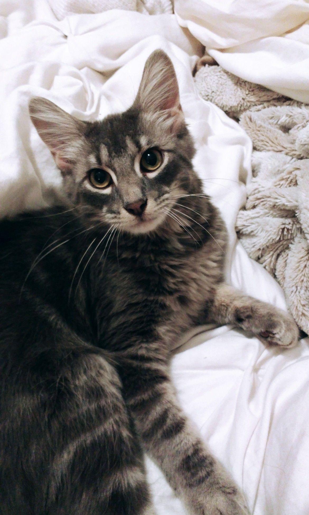 Thor le chat Bengal dont la sublime fourrure fait