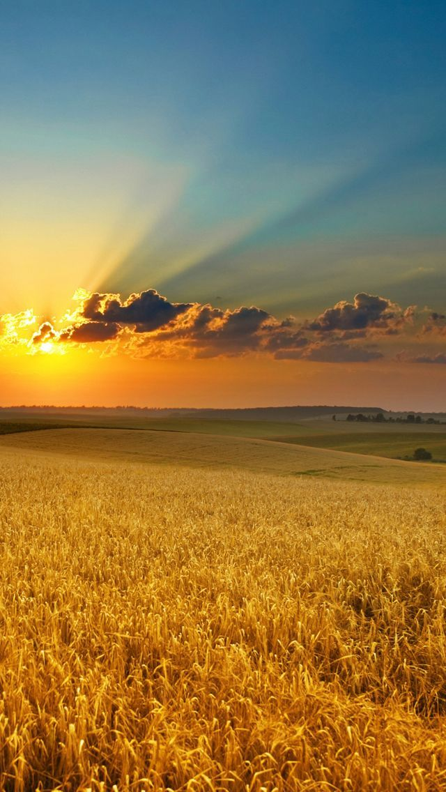 Golden Summer Field IPhone 5s Wallpaper