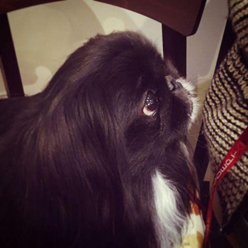 めっちゃ賢く待つMoo…(笑)  ホンマに久々、、cafe+dog kurumiさんなう。  #dog #pekistagram #pekestagram #pekingese #peke #peki #dogcafe #ペキ #ペキニーズ #ペキニーズ部 #ペキスタグラム #ペキニーズフォーン #ペキドッグカフェ #cafe+dogkurumi #黒ペキ #96