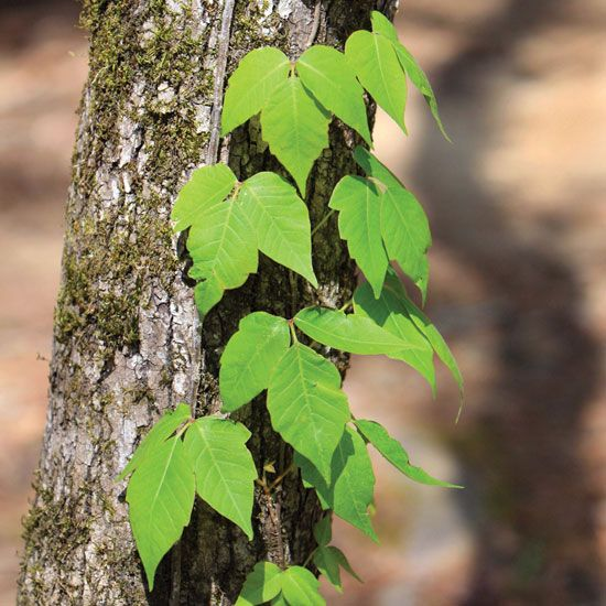 Ditch the Itch: Get Rid of Poison Ivy Plants - Homesteading and Livestock - MOTHER EARTH NEWS