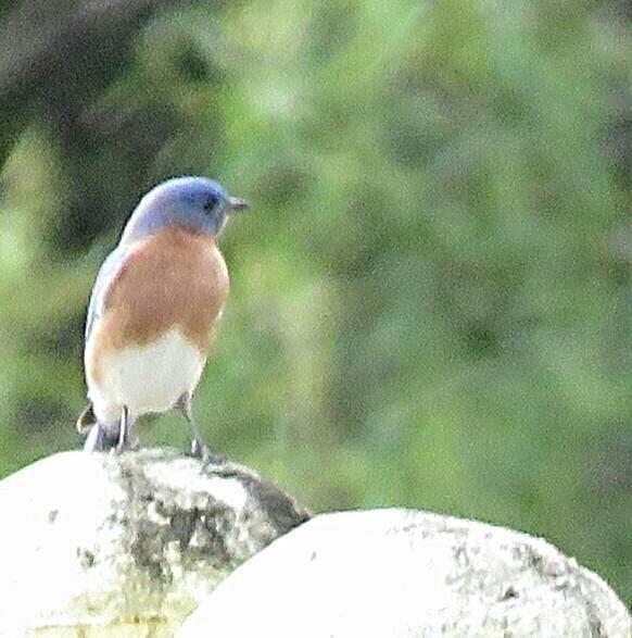 Bird Photos Birding Sites Bird Information Eastern Bluebird Freedom Memorial Park Naples Fl Bird Photo Blue Bird Eastern Bluebird