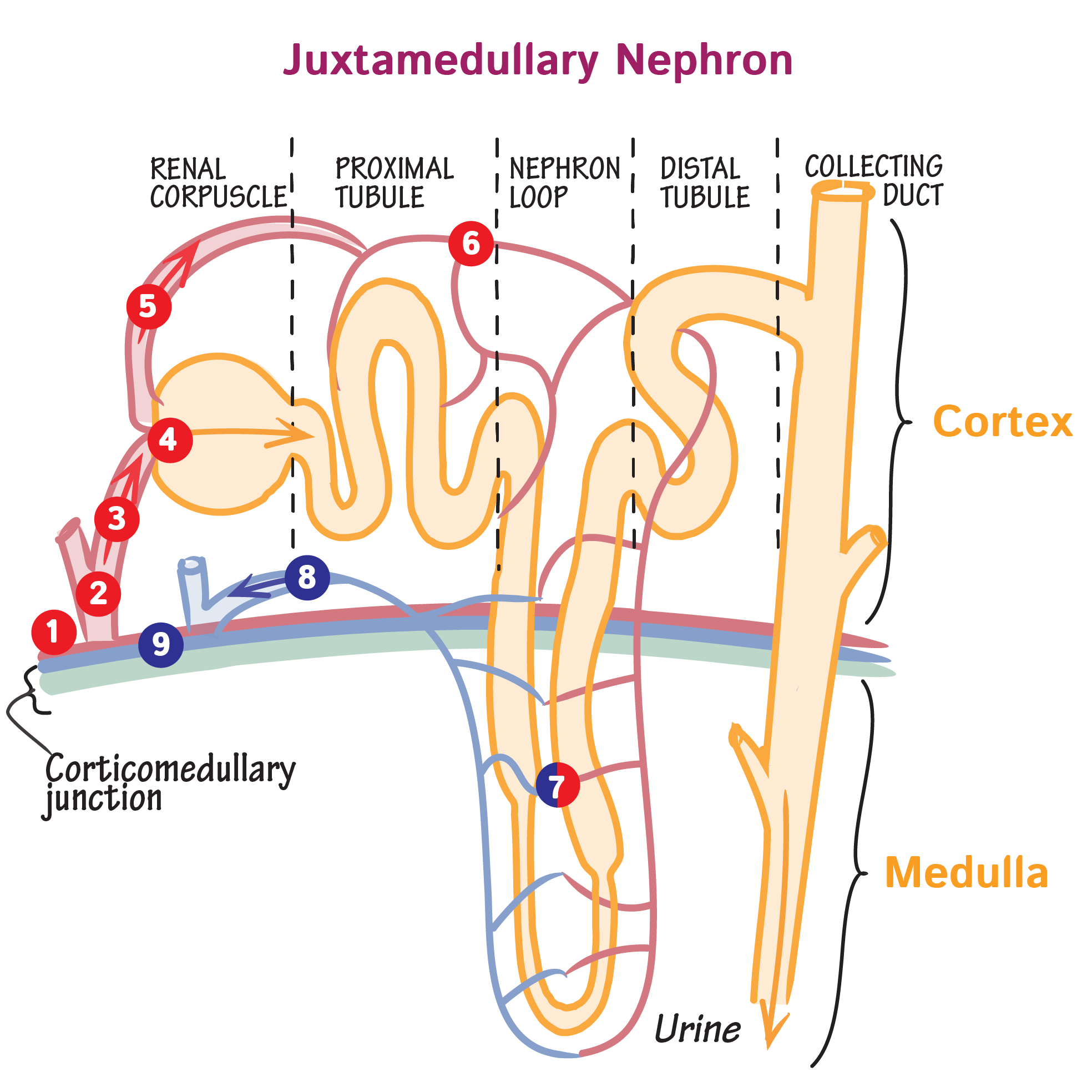 Image Result For Nephron Tubule