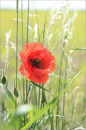 Mohnblume 2012 Foto Von Falko Follert Art Ff77 Mit Bildern Mohnblume Blumen Mohn