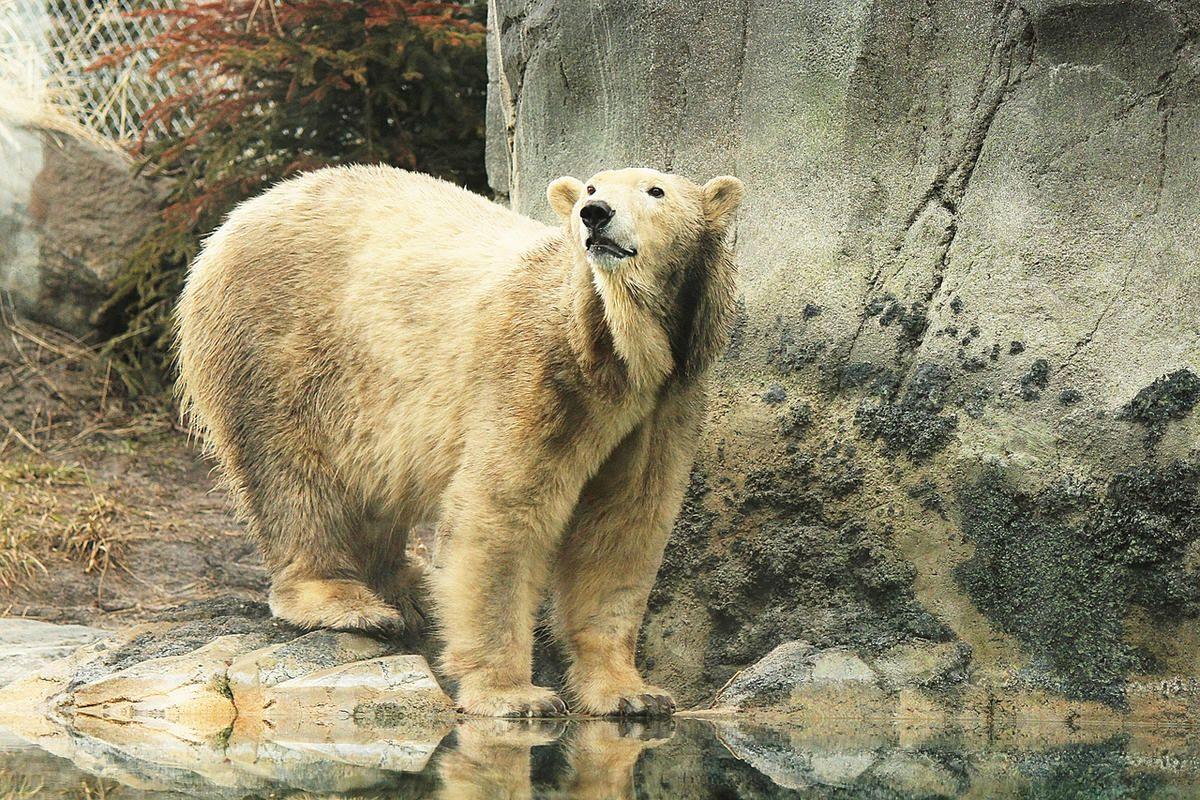 #Polar bear at Hogle Zoo diagnosed with terminal kidney failure - Deseret News: Deseret News Polar bear at Hogle Zoo diagnosed with…