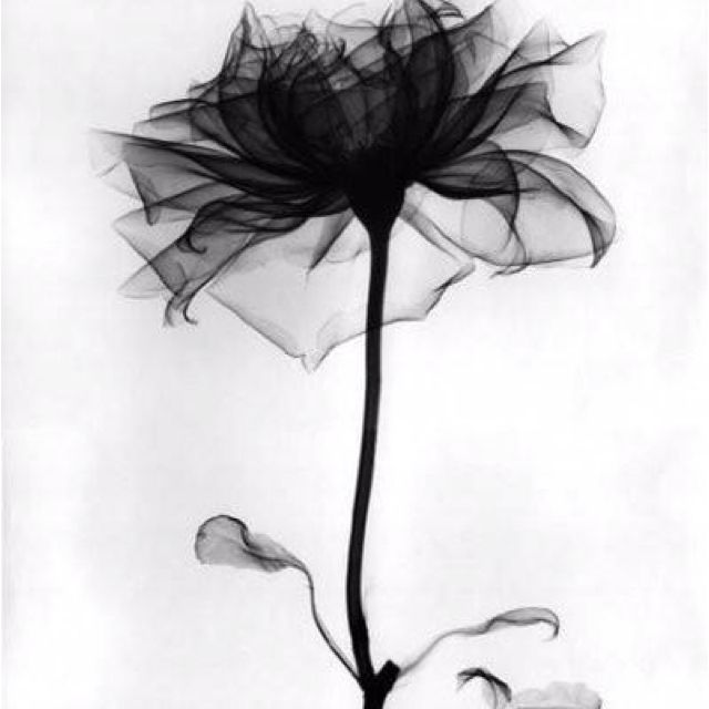 X Ray Of Rose Watercolor Amazing Tattoo For Me Yeti: Black Rose Tattoos, Xray Flower, Black
