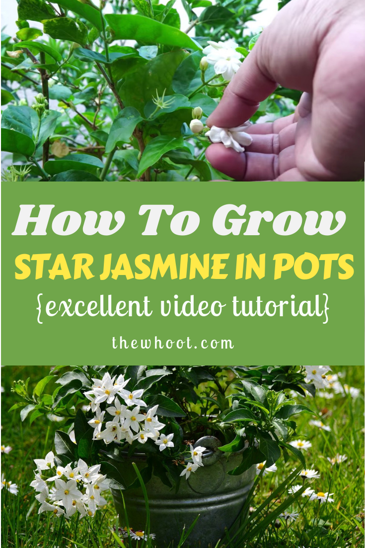 HOw To Grow Star Jasmine In Pots Video is part of Star jasmine, Jasmine plant, Jasmine, Star jasmine vine, Jasmine flower, Jasmine vine - Learn how to grow star jasmine in pots with our excellent video tutorial  You will learn how to plant, care, prune and maintain, harvest and repot