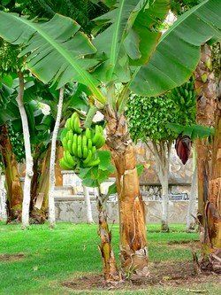 One Gallon Dwarf Banana Musa Cavendish Best House Plant Fruit Trees Patio Lawn Garden