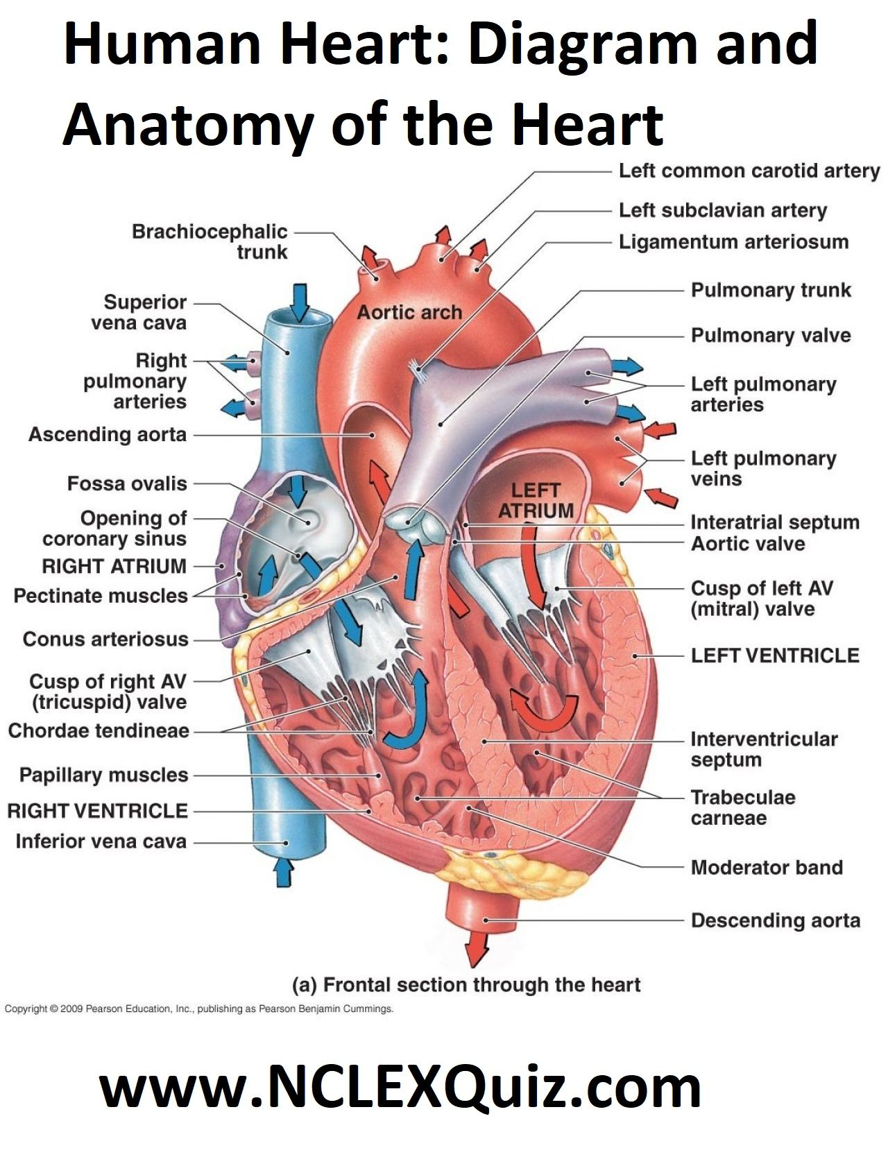 Human Heart Diagram And Anatomy Of The Heart
