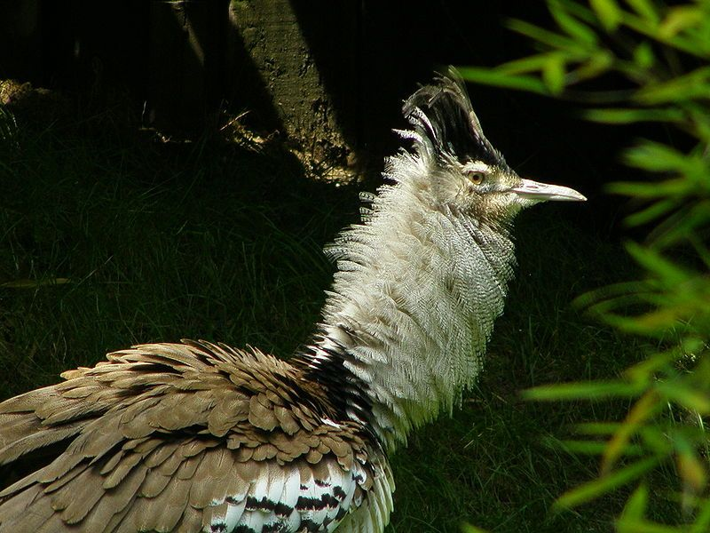 Kori Bustard by frank wouters