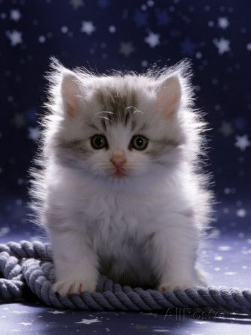 Domestic Cat, 7Week Fluffy Silver and White Kitten Prints