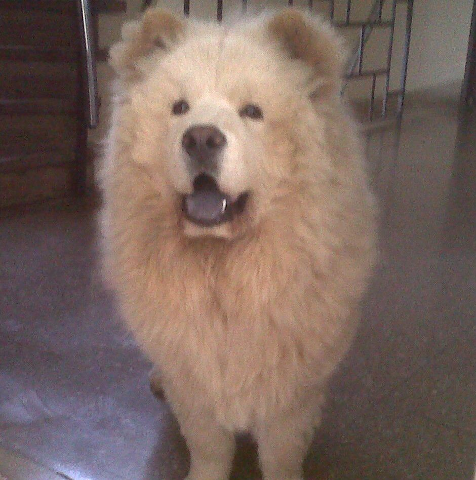 Artic Cream Chow Chow Male 1 Year Old Chow Chow Dogs Chow
