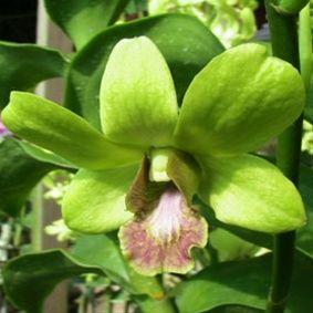 Dendrobium Burana Jade Actual Picture Orchids Dendrobium Orchids Orchid Flower