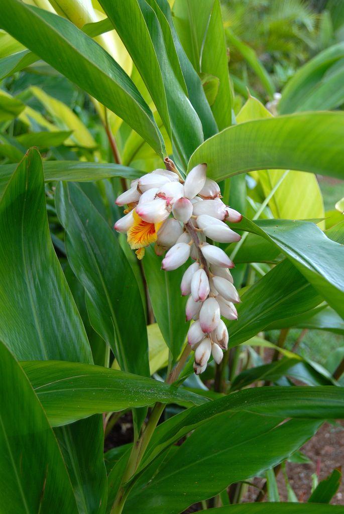 Alpinia Zerumbet Shell Ginger Ginger Plant Garden Guide Ginger Flower