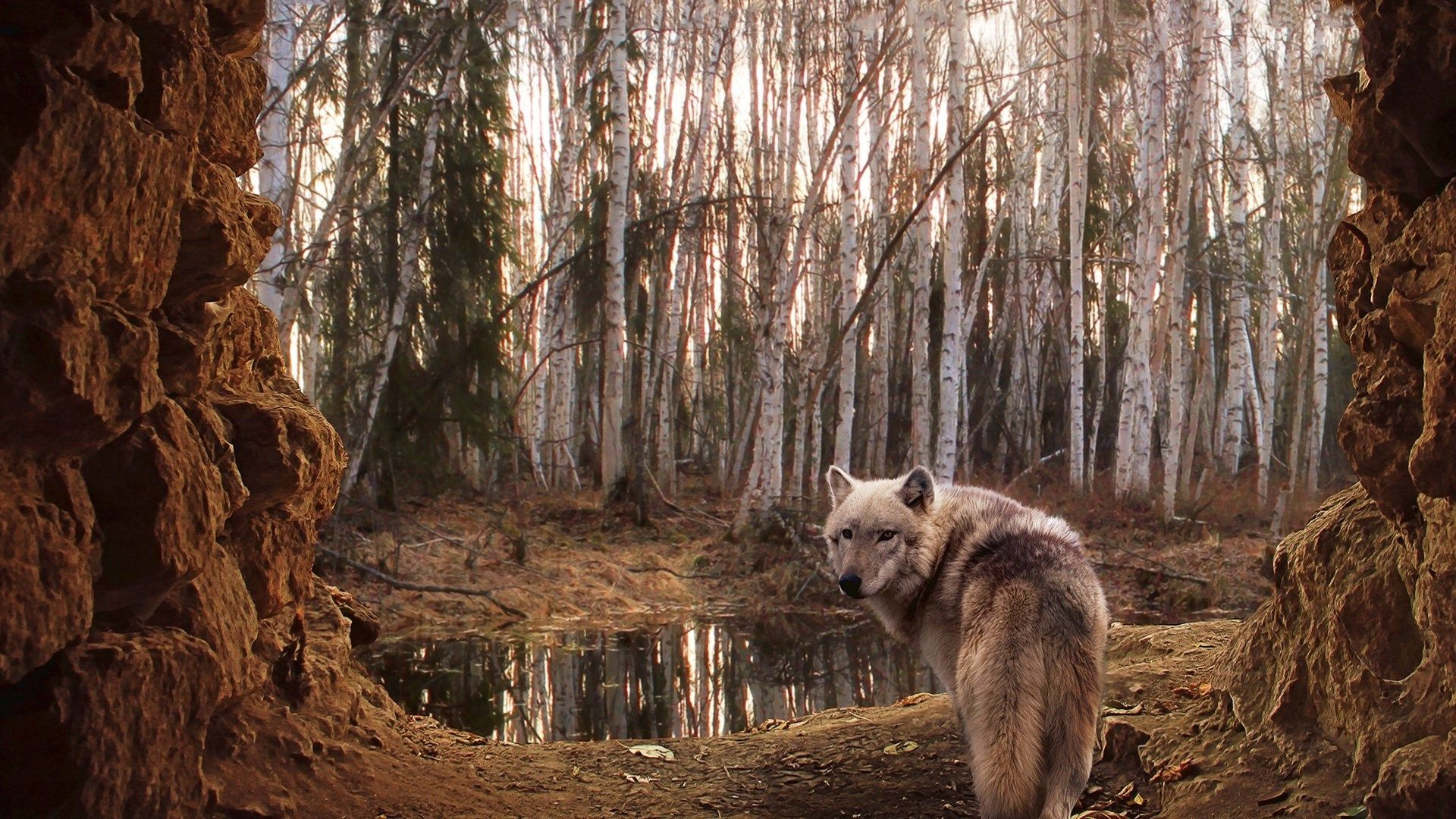 wolf computer wallpaper