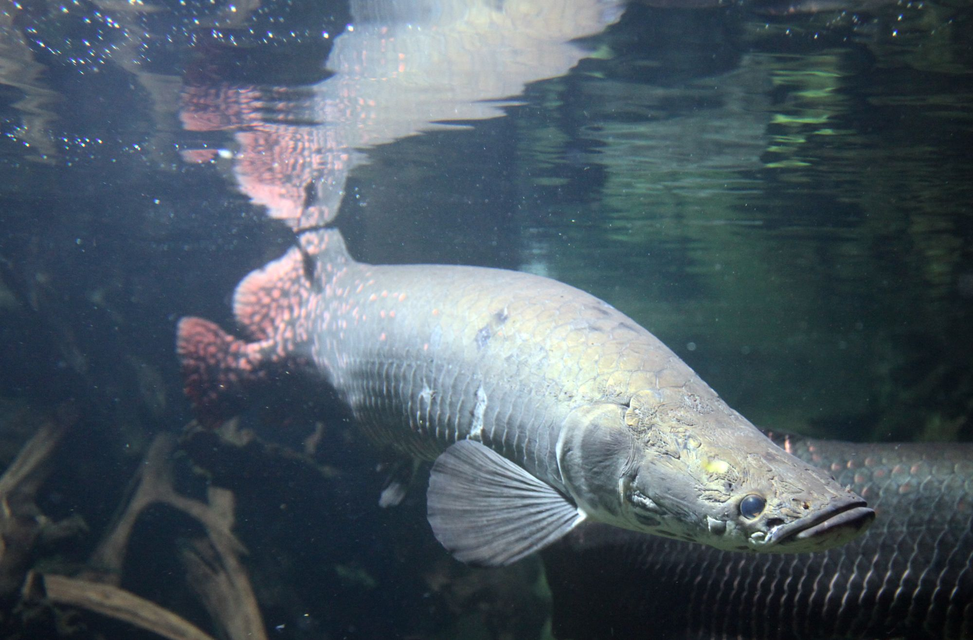 Arapaima | Water Creatures | Freshwater fish for sale, Fish