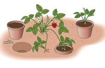 erdbeeren pflanzen die wichtigsten tipps erdbeeren. Black Bedroom Furniture Sets. Home Design Ideas