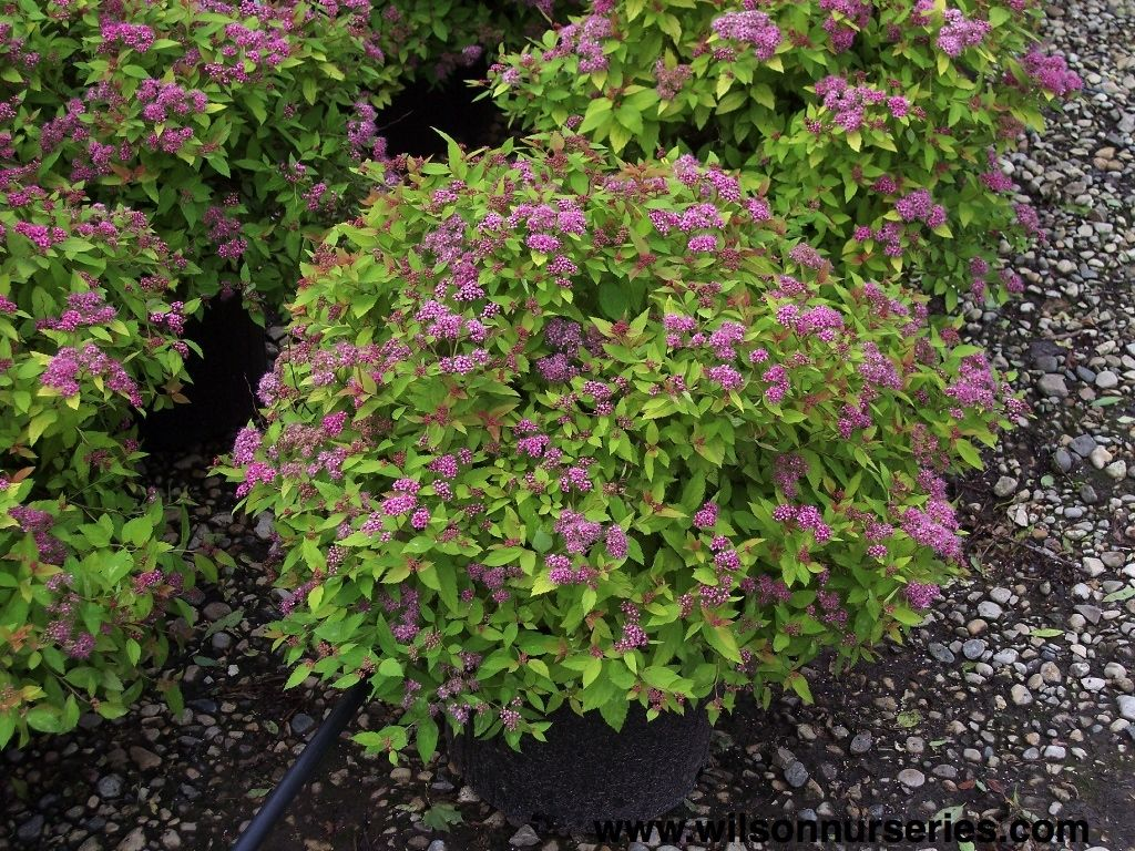 39 magic carpet 39 spirea spiraea japonica 39 walbuma 39 a for Outdoor shrubs and plants