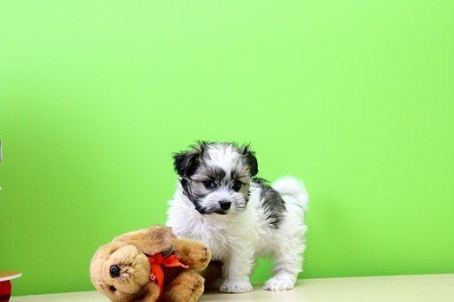 Havamalt Puppy For Sale In Portsmouth Oh Adn 27424 On