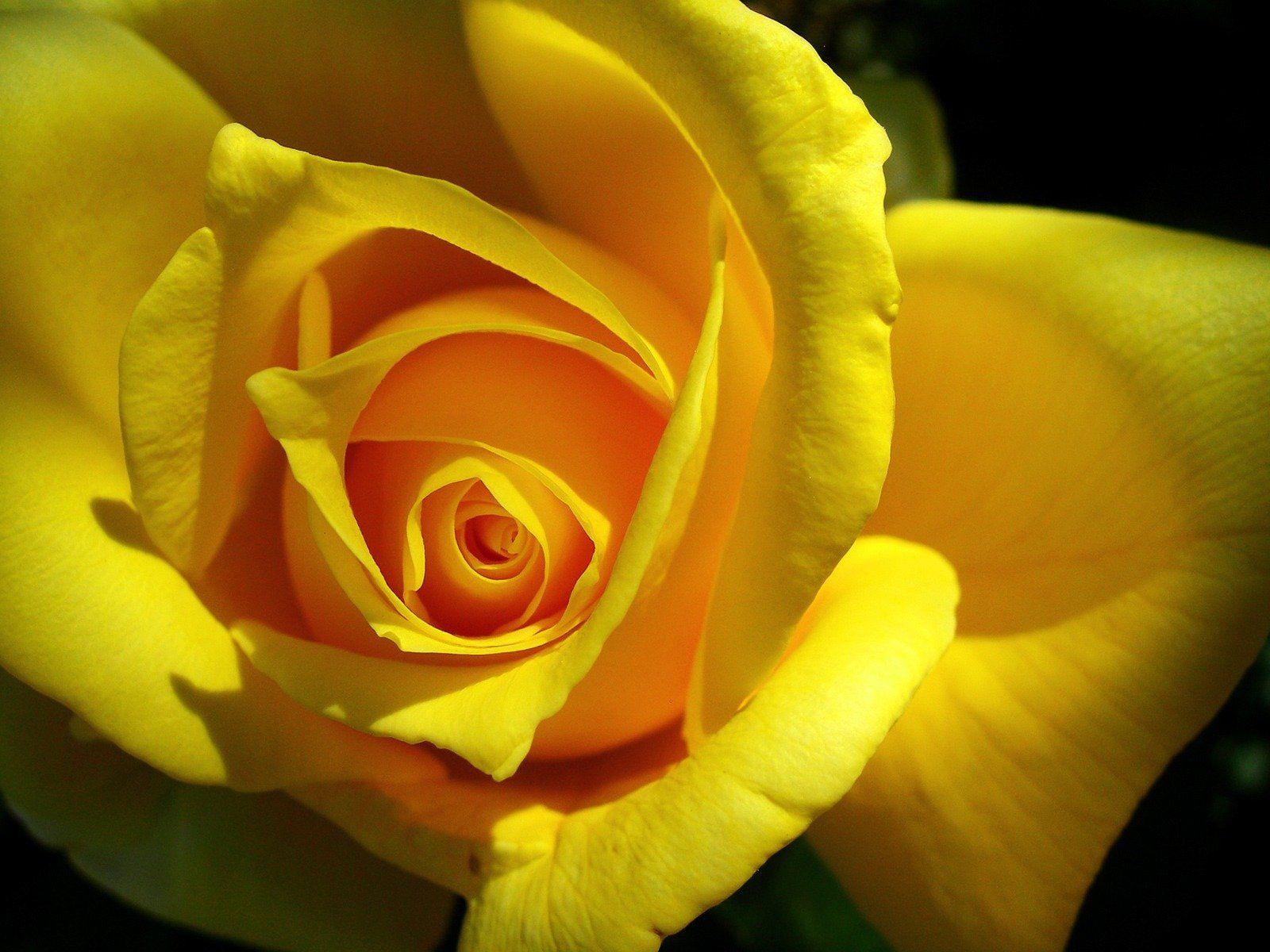Rosas amarillas HD | FondosWiki. … | Ramos de rosas amarillas ...