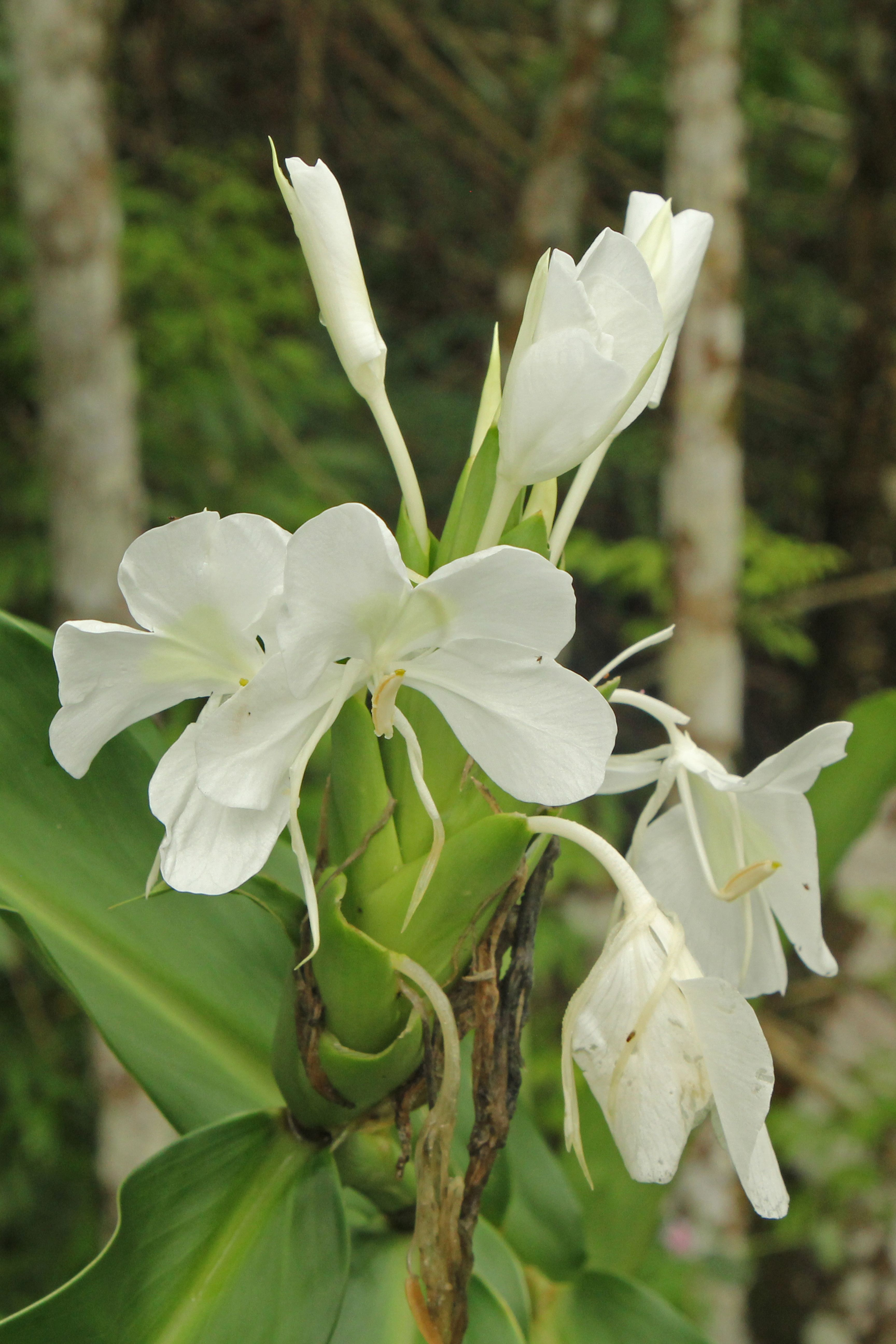The National Flower Of Cuba Is The White Ginger Lily Ginger Was