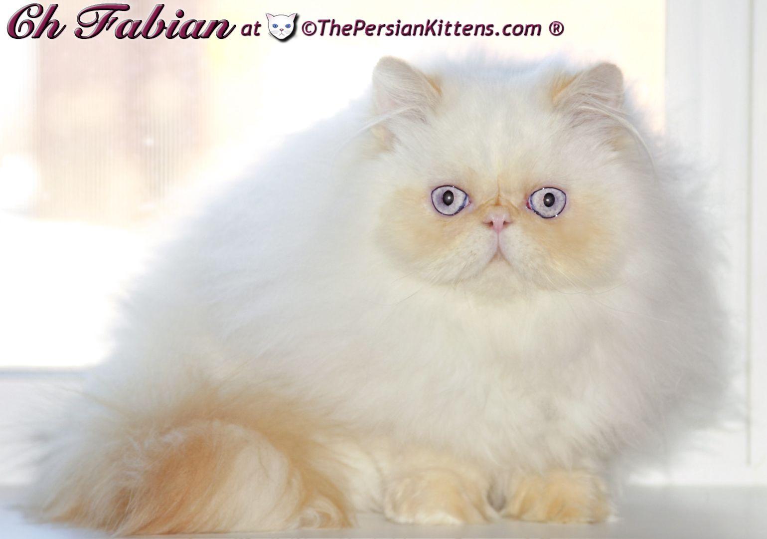Persian Kittens Fabian1l Jpg Jpeg Image 1539x1081 Pixels Scaled 61 Persian Kittens Himalayan Cat Himalayan Kitten
