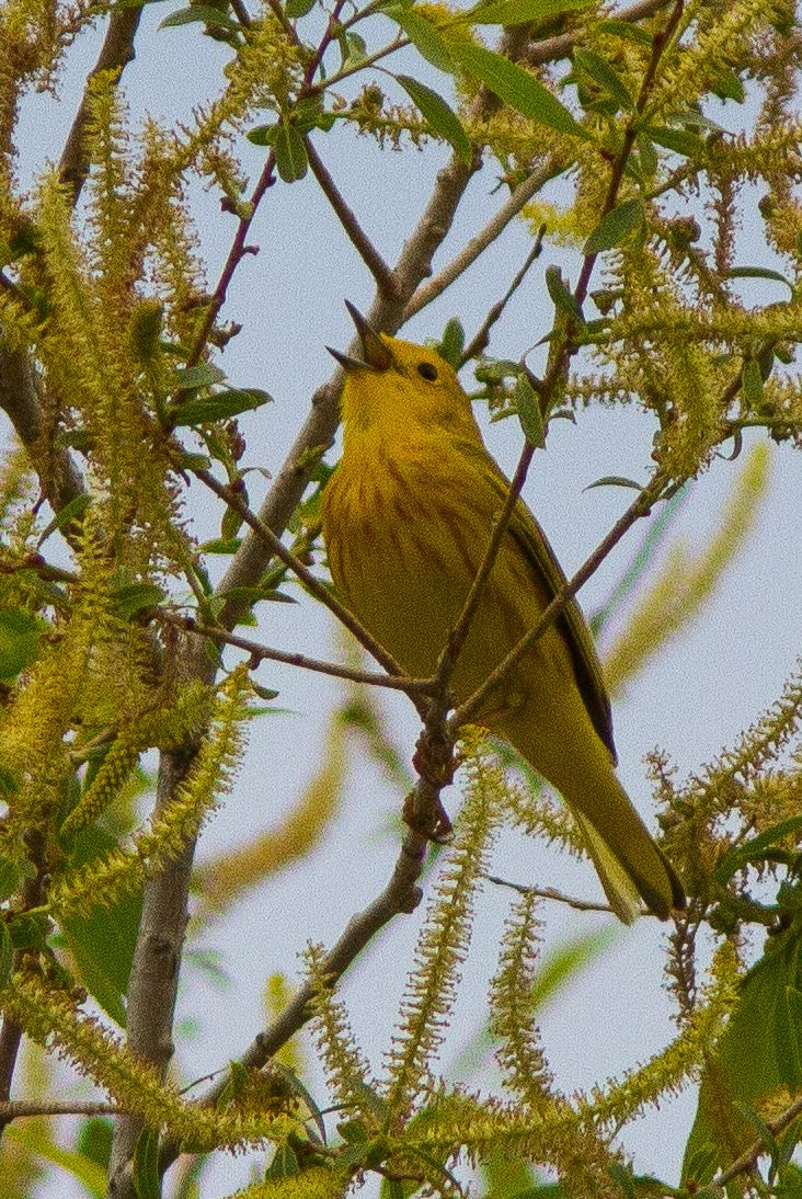 Yellow Warbler ©Neal Zaun Wild Bird Center of Boulder CO