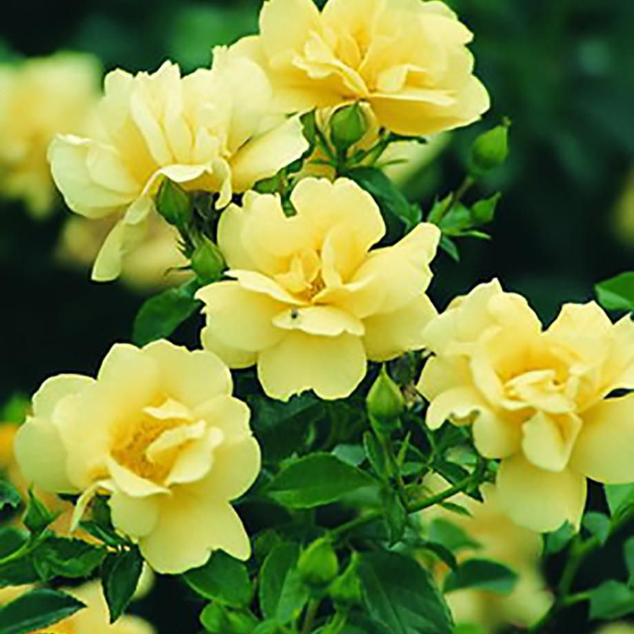 Flower carpet rose yellow flower beautiful flowers and plants flower carpet yellow is a new recently developed color in this groundcover rose series mightylinksfo